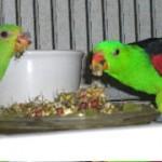 Crimson-winged Parrots