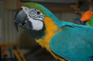 Angus Blue & Gold Macaw