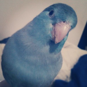 Hamburger the Blue Parrotlet