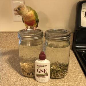 Pineapple green-cheeked conure helps with sprouting.