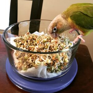 Pineapple green-cheeked conure eating BBFE sprouts.