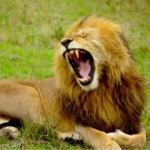 lion lying down and roaring