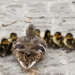 mother duck with ducklings in a row