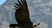 科尔卡大峡谷秃鹰之旅