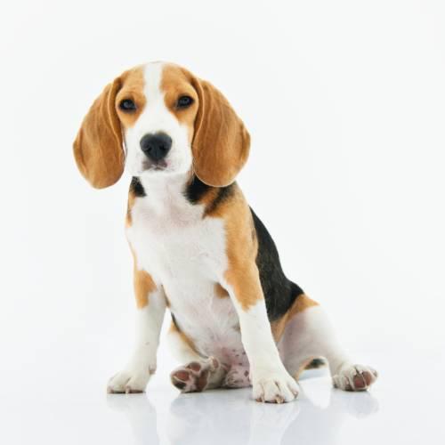 adorable-animal-beagle-1345191