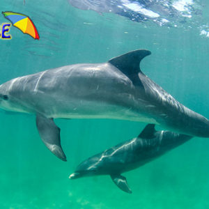 dolphin swiming