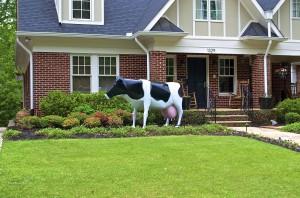 The Lanier Blvd. bovine - a Holstein, to be specific.