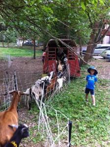 The goats arrive on Hudson Dr.