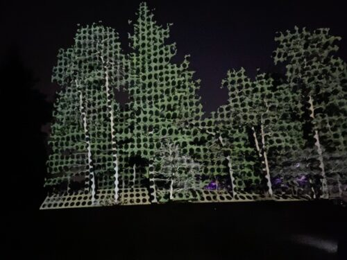 Tree Lights at Morton Arboretum Spark Togetherness