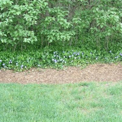 vinca-ground-cover-flowering