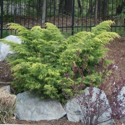 gold-tip-juniper