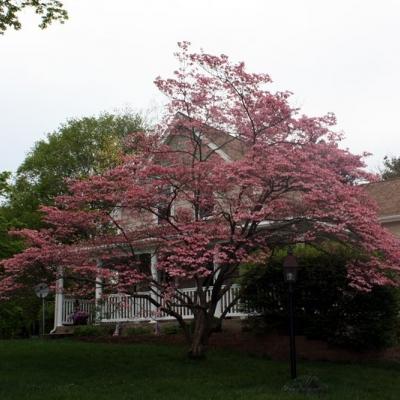 pink-dogwood-2