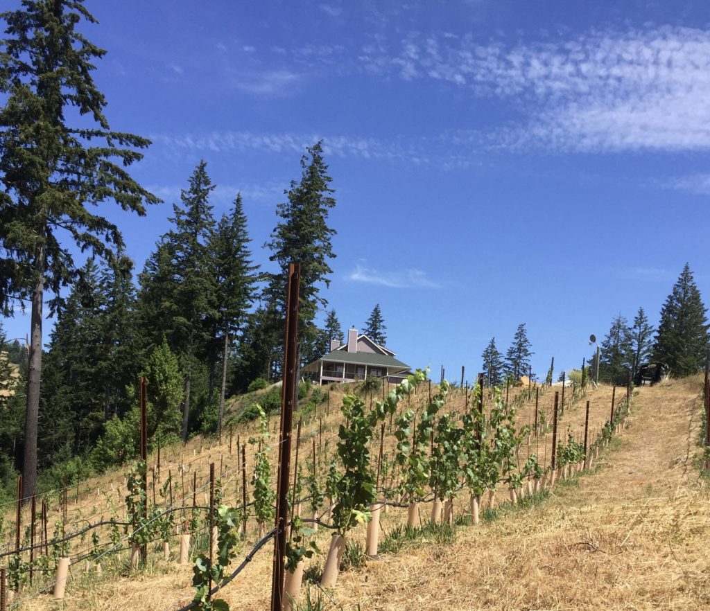 young pinot noir vines in the early summer, with the vineyard house peeking over the hill