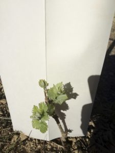 young grapevine and its cardboard protector