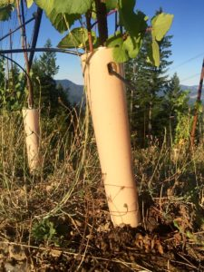 a single dripper line runs to each grapevine