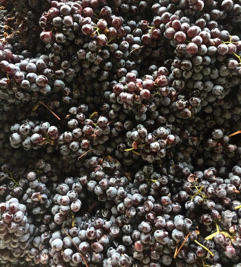 Terragena Nebbiolo Grapes 2