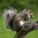 squirrel with a green background, Guy Sagi