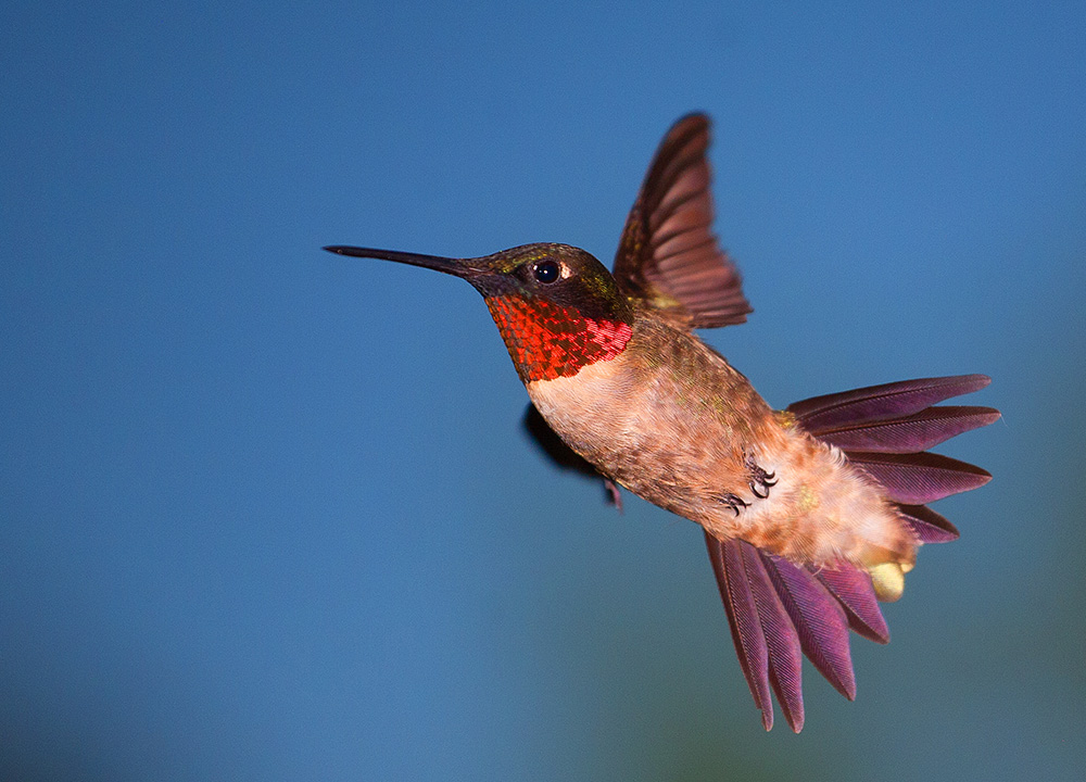 Hummingbird in flight, Guy Sagi