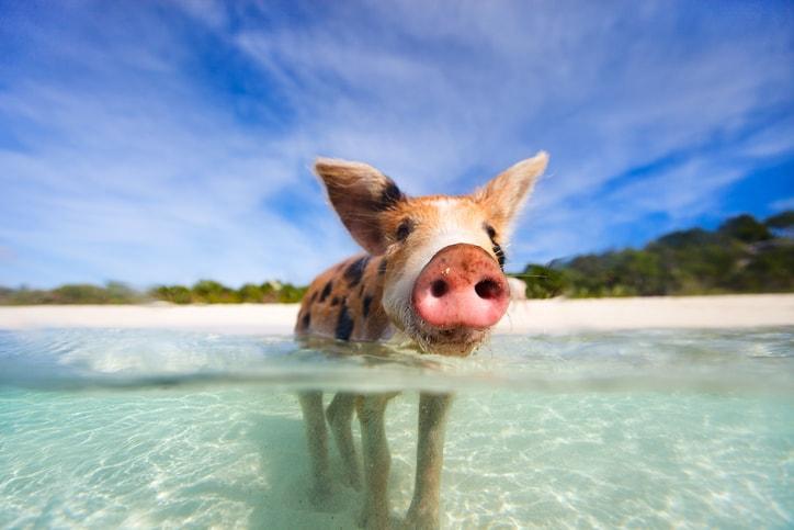 Pig at the water