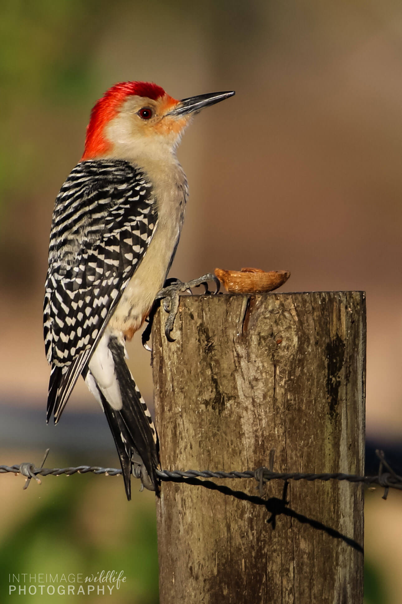 In the Image Wildlife Photograph Little Red Black White Bird
