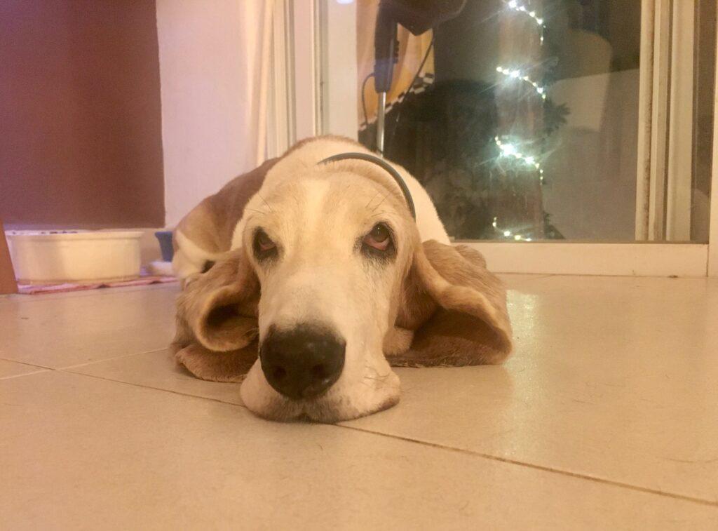 Bessie, our Basset Hound