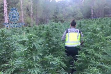 La Policía Nacional detiene a 3.695 personas y desmantela más de 800 plantaciones de marihuana
