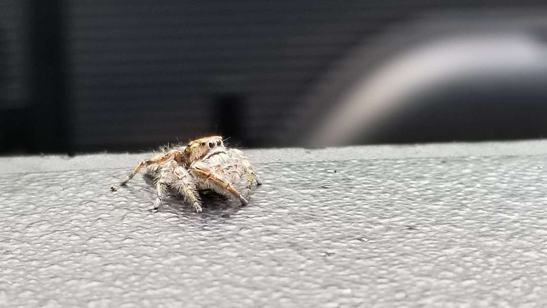 Furry Spider with four eyes