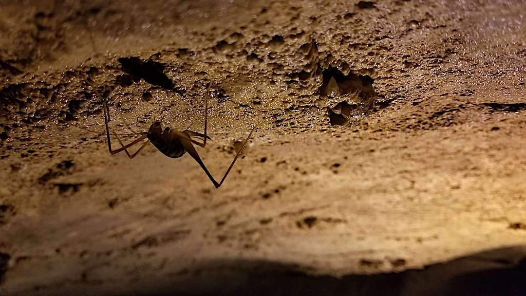 Cave Cricket on cave wall