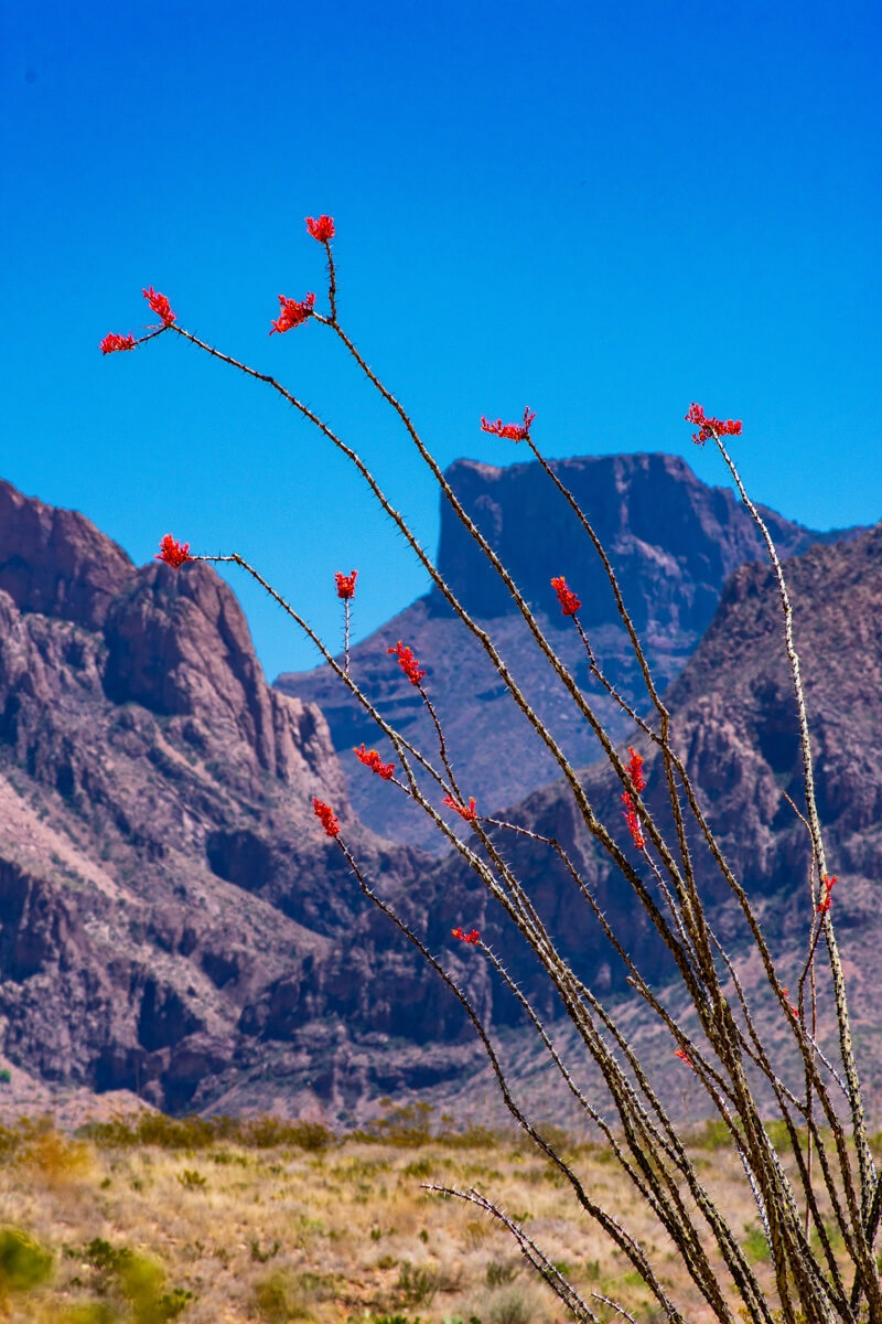 Ocotillo Plant with Mountains in background Big Bend National Park