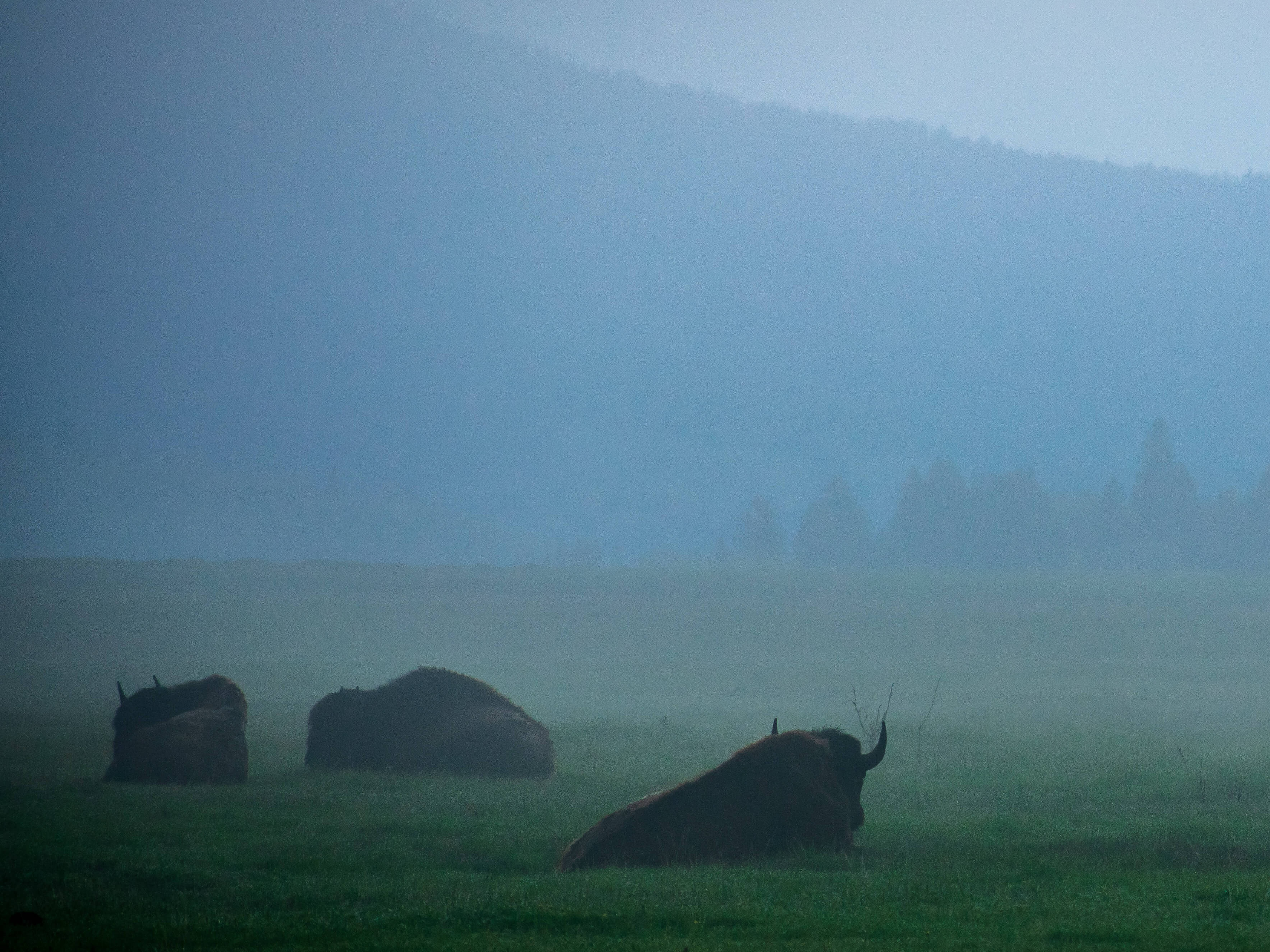 Bison sitting in grass foggy day