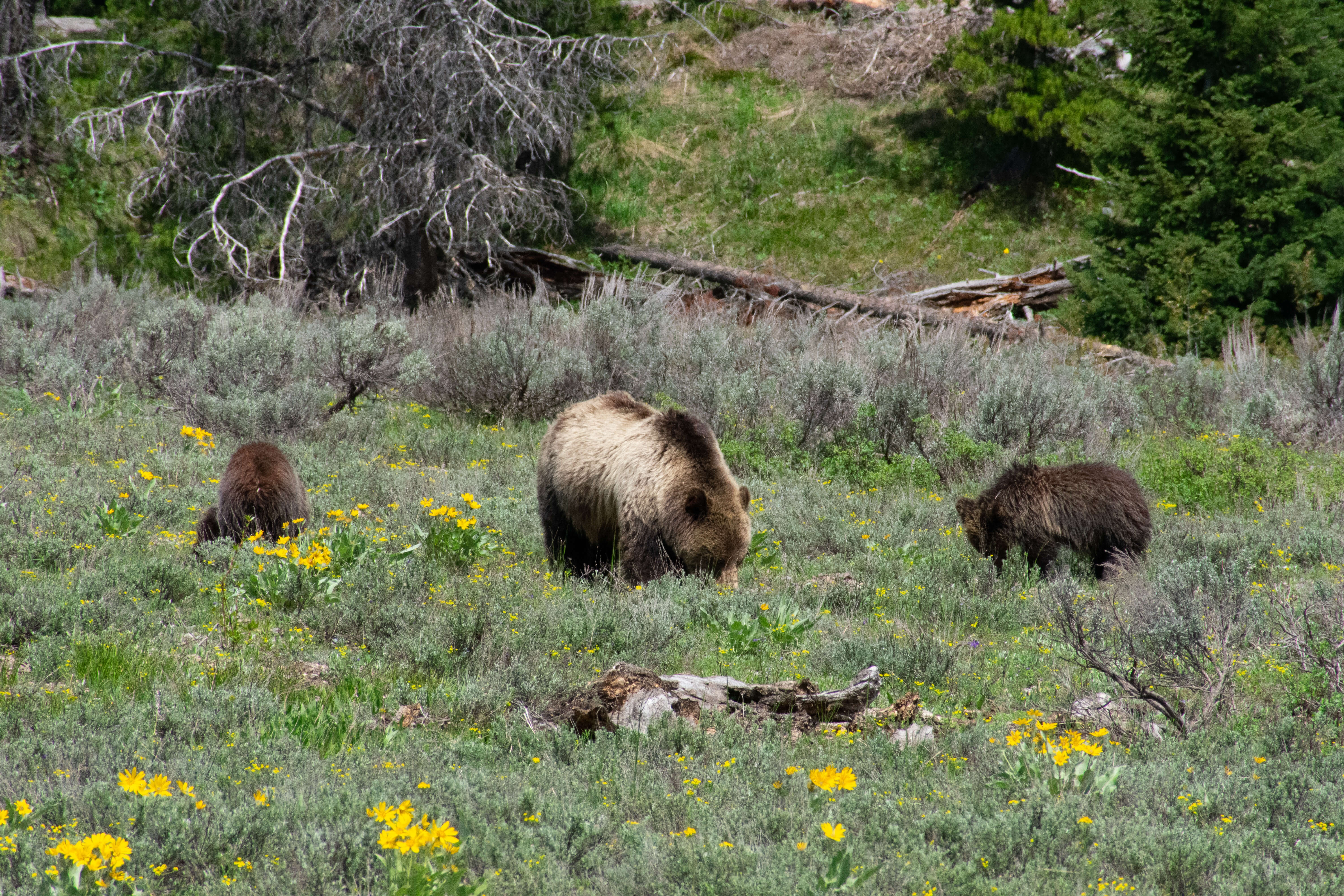 Grizzly Mom and cubs eating in grassy field
