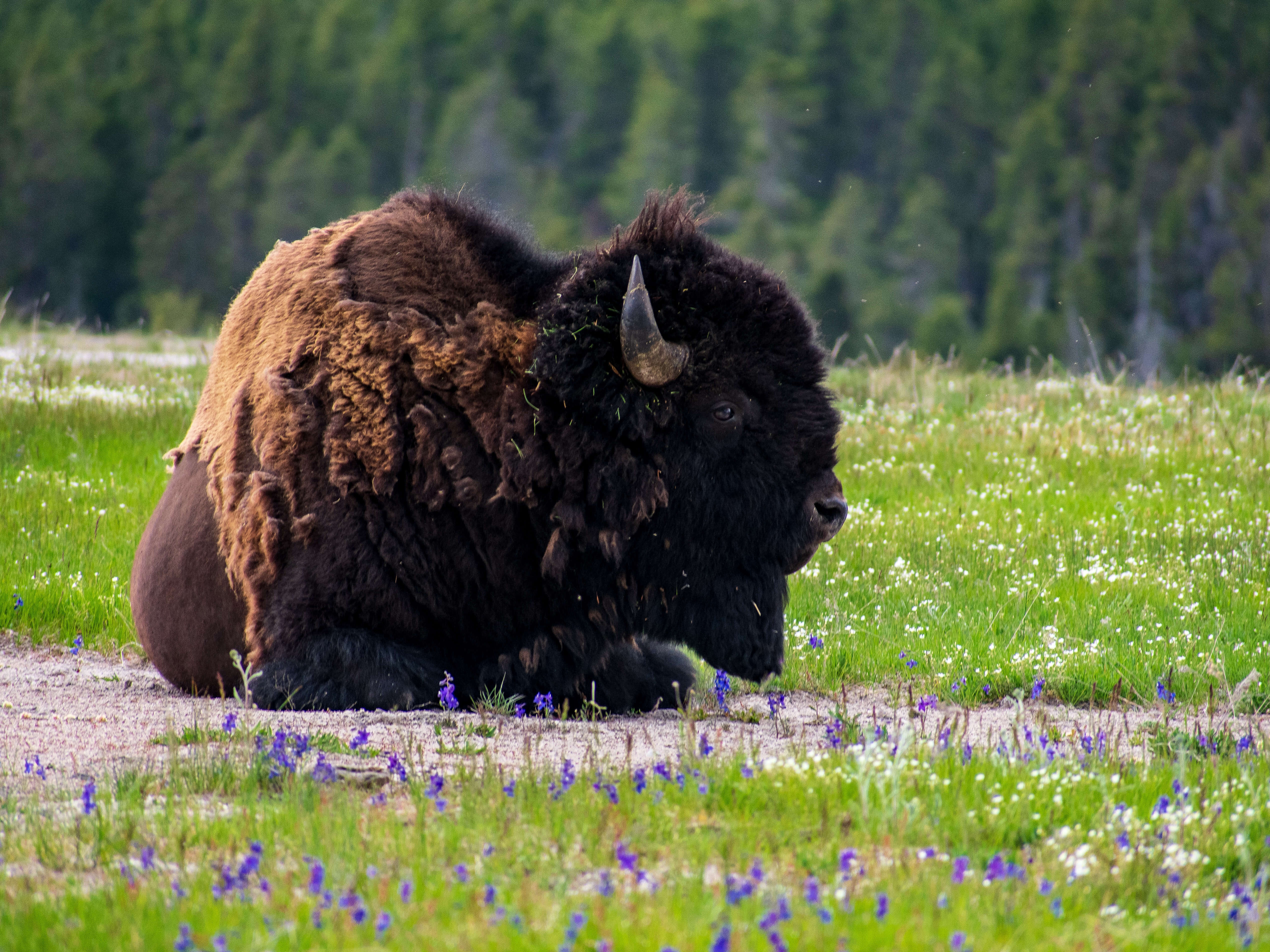 Bison sitting in grassy field Yellowstone