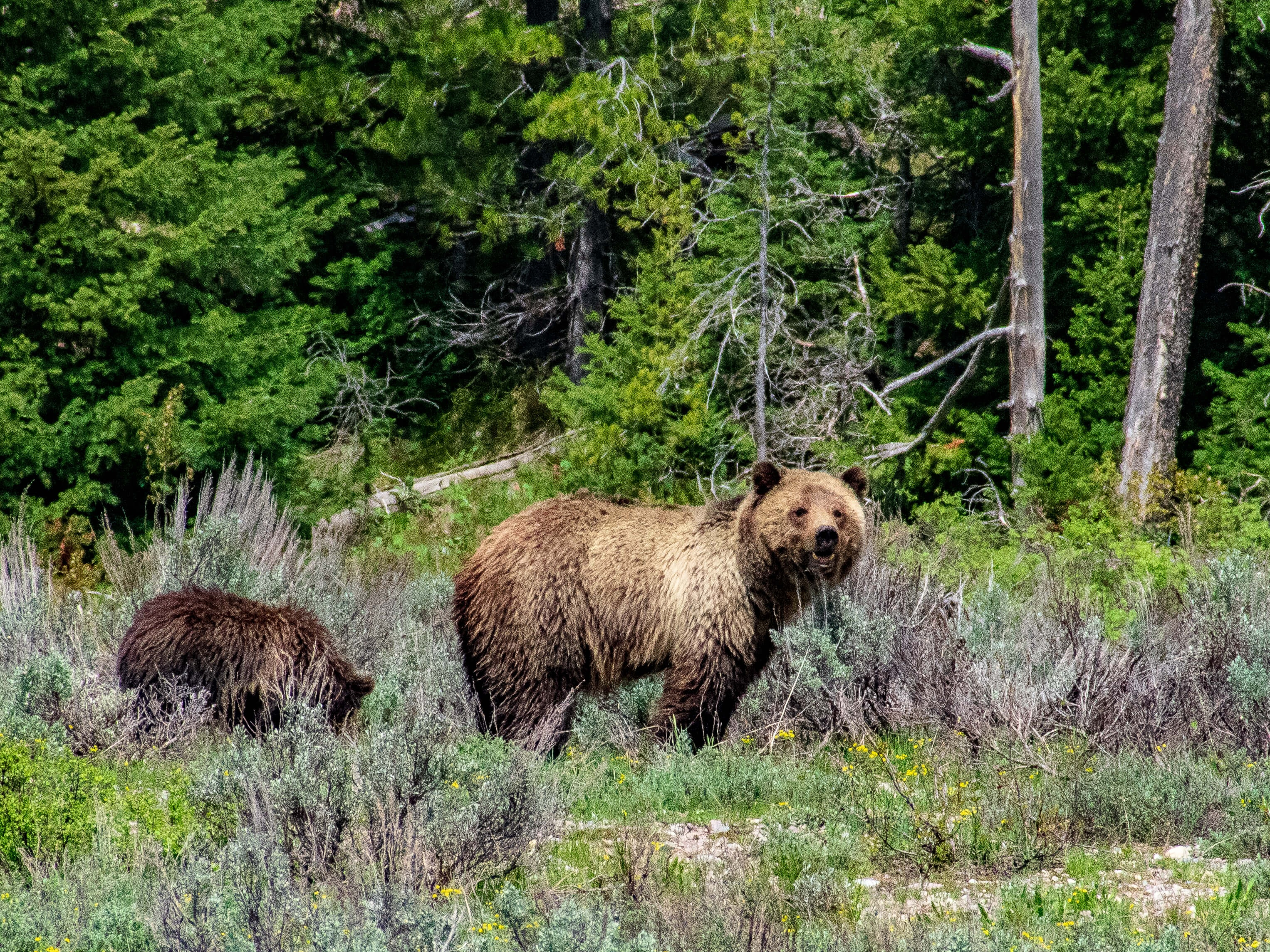 Grizzly bear and two cubs Grand Teton