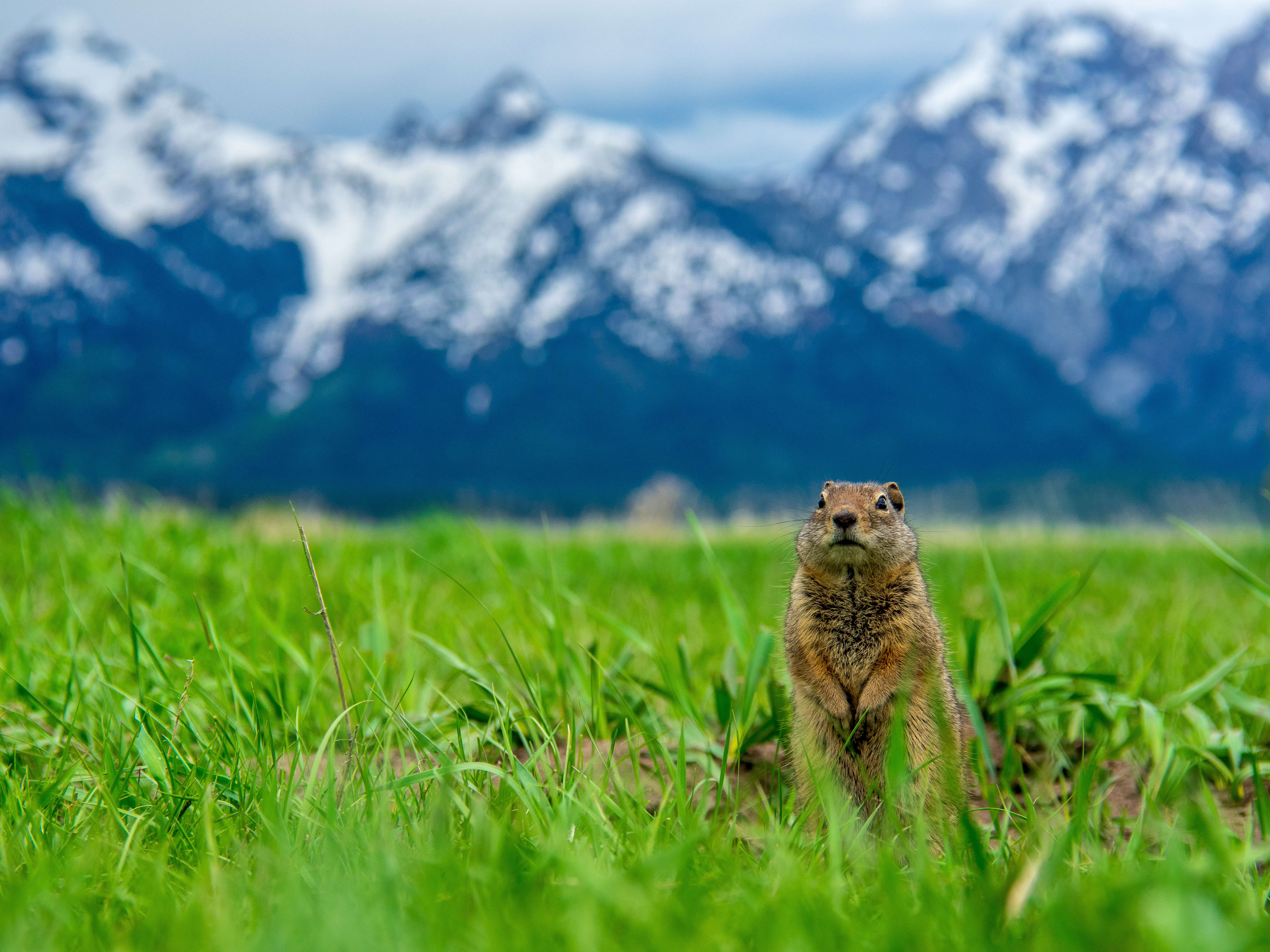 Ground squirrel Grand Teton Mountain Range