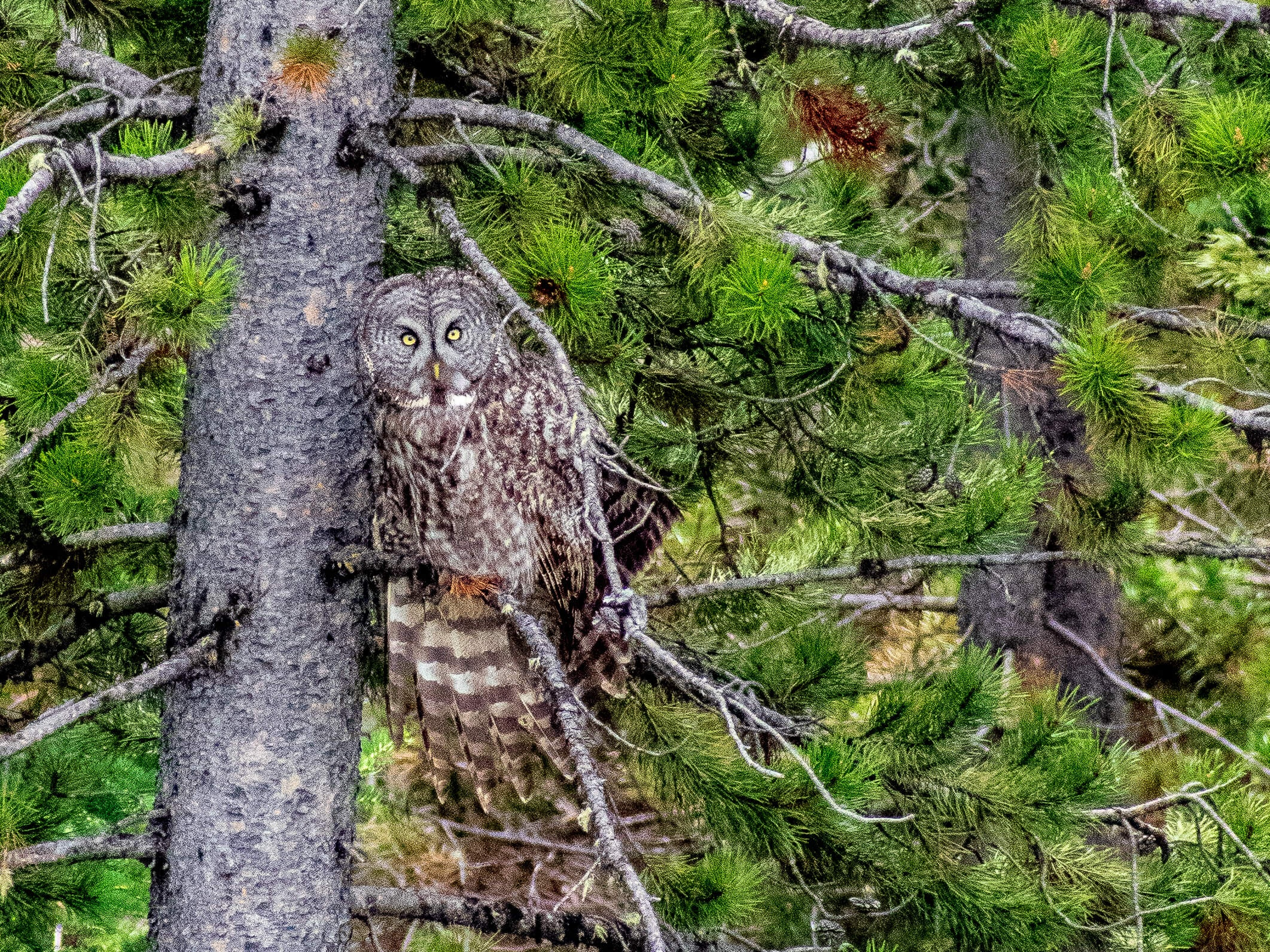 Great Gray Owl Grand Teton