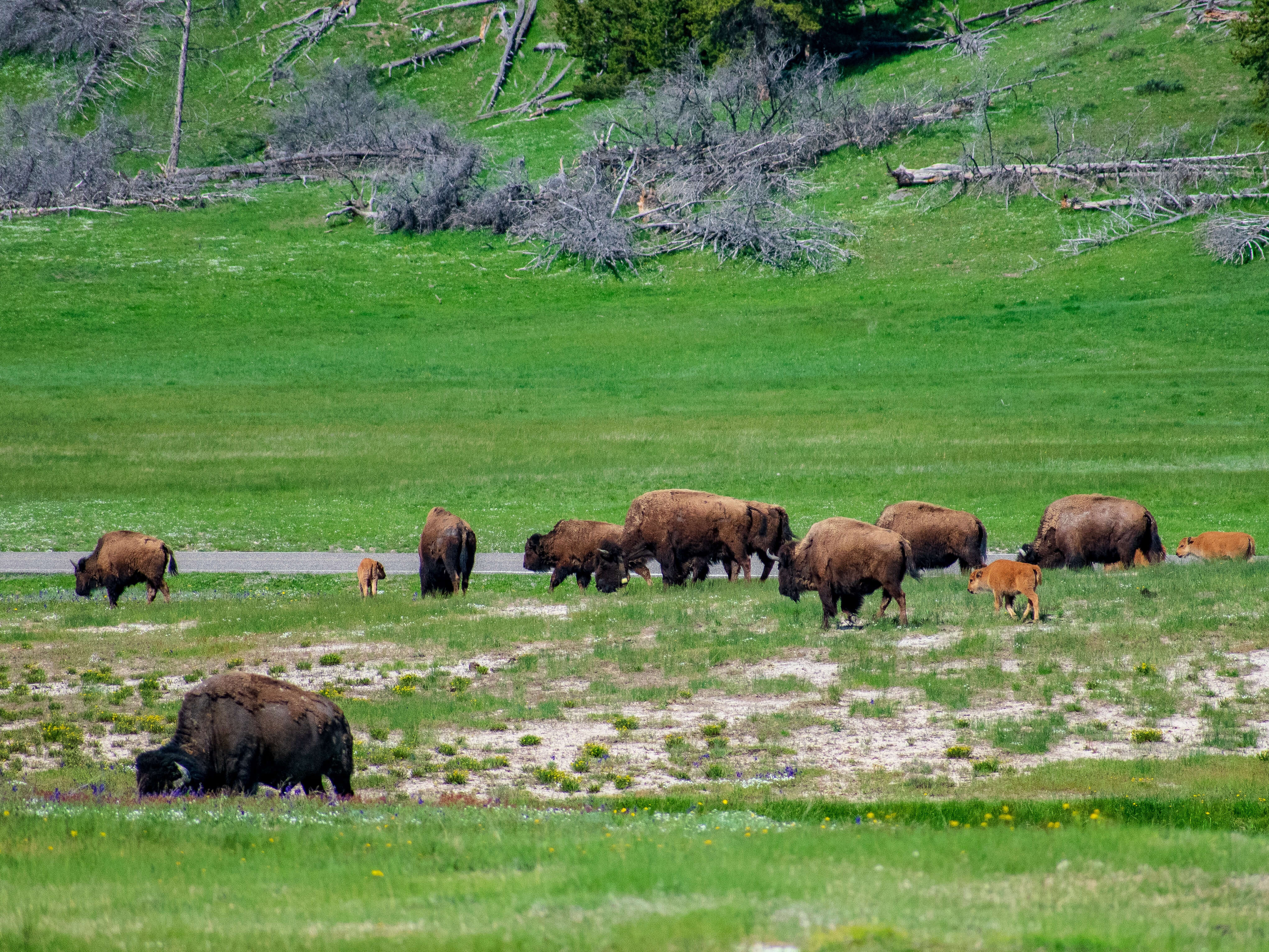Bison heard in Lamar Valley