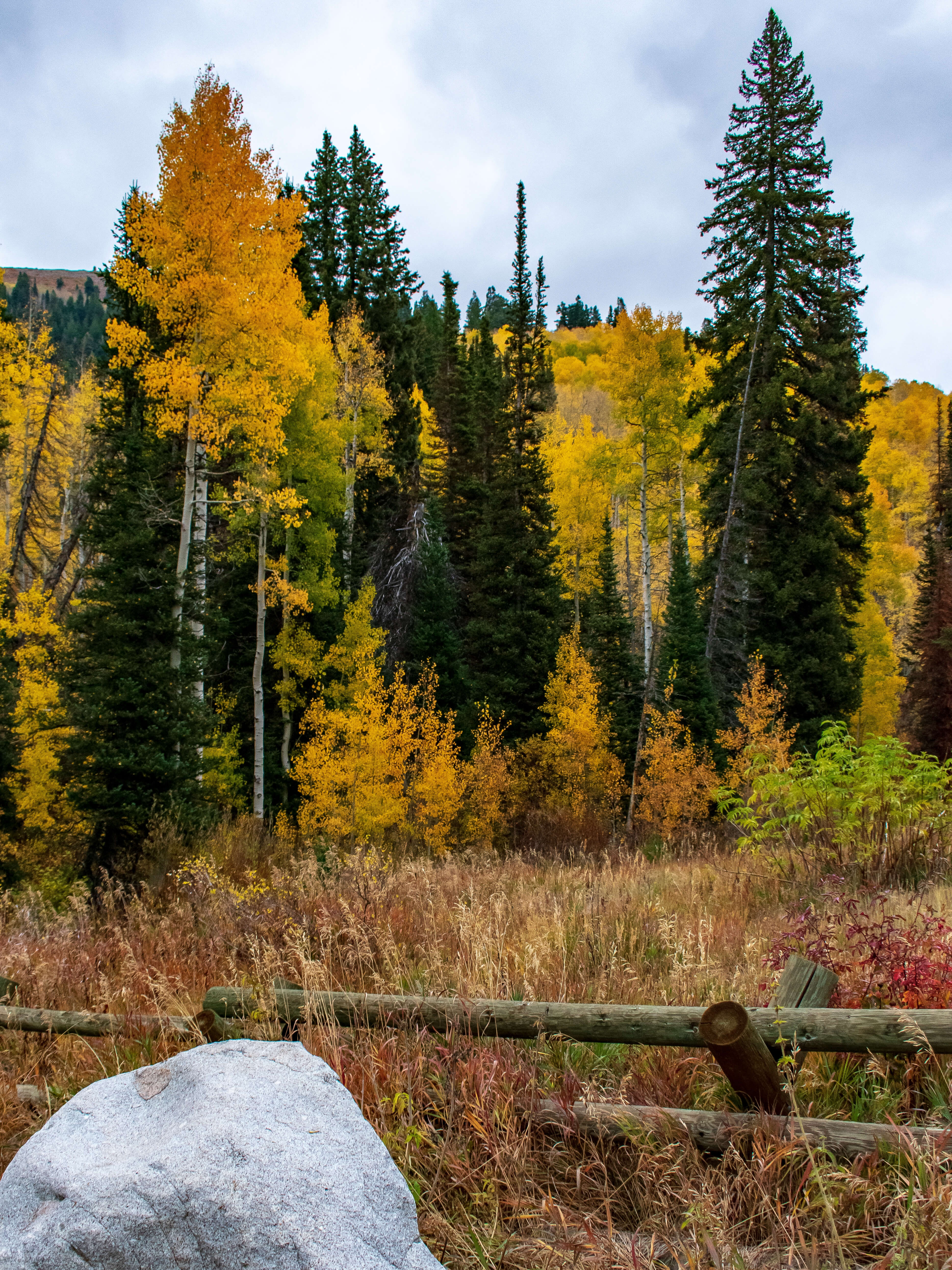 Pine forest with Yellow Aspens Mill Creek Canyon Utah