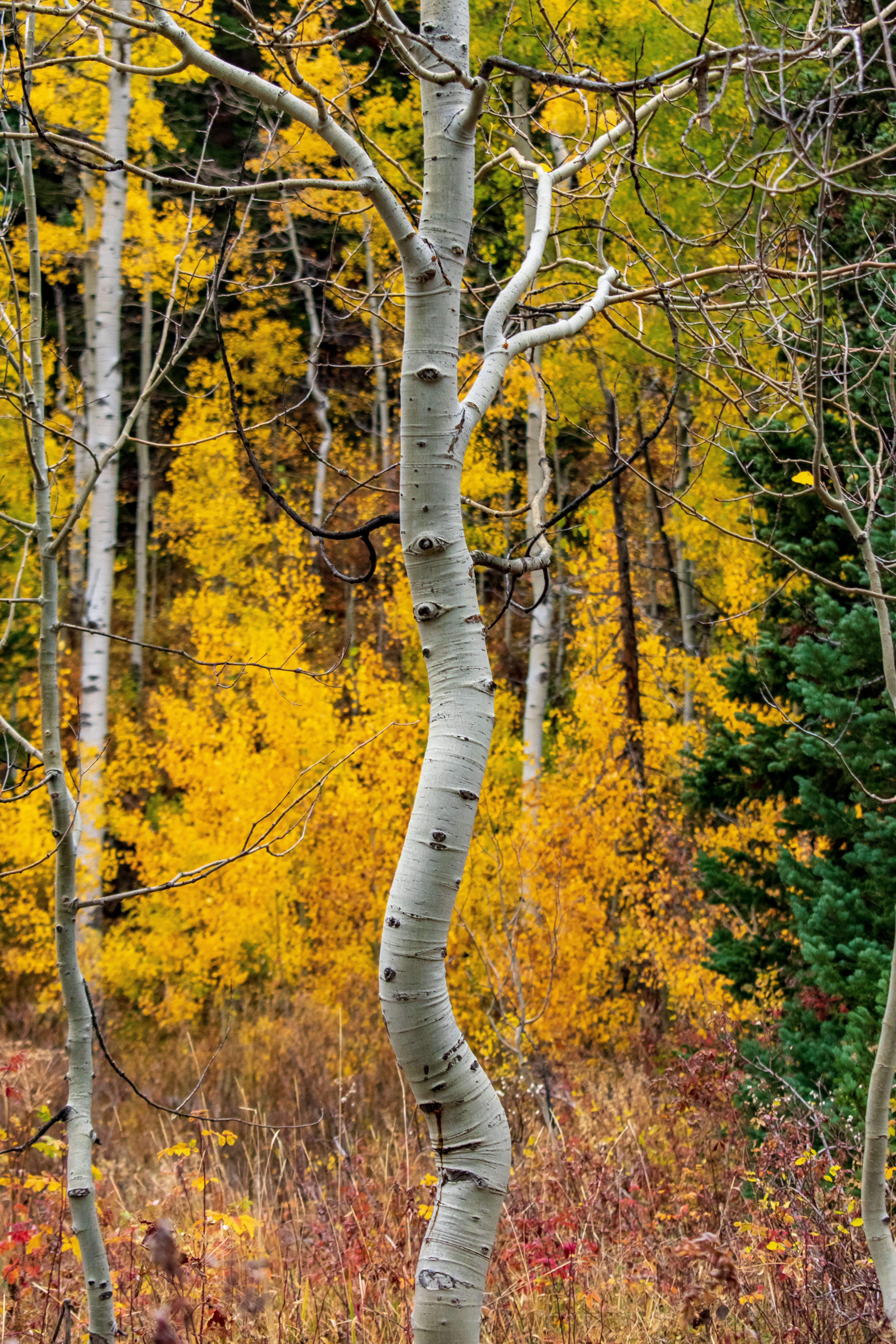 Bent Aspen tree with yellow leaves