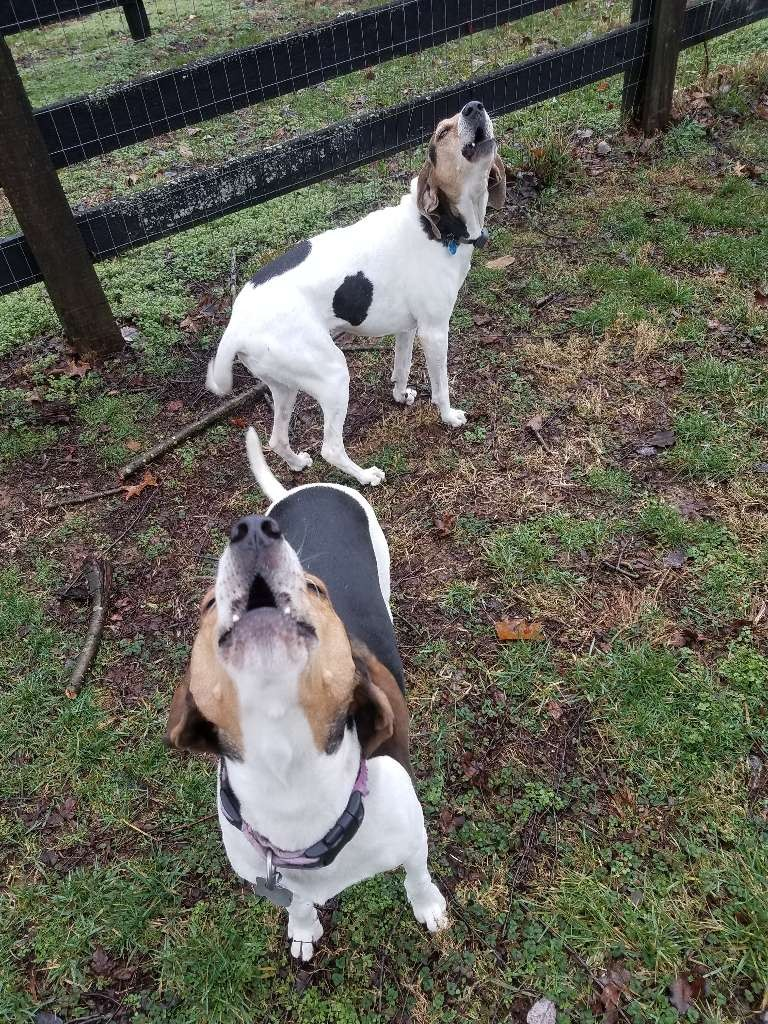 two hound dogs howling