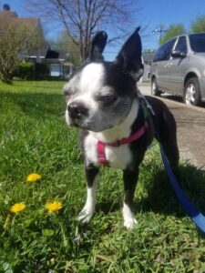 boston terrier black white dog dandelions grass