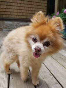 dog smile orange pom