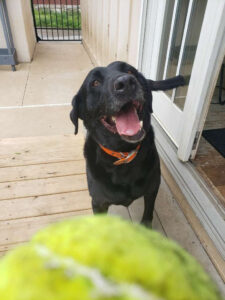 dog black lab tennis ball fetch