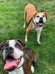 boxer dogs brown brindle grass