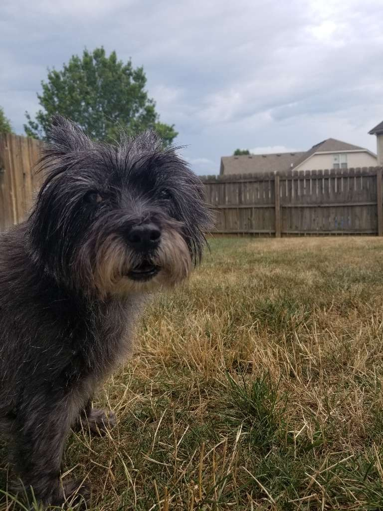 black cairn terrior dog yard grass fence outside