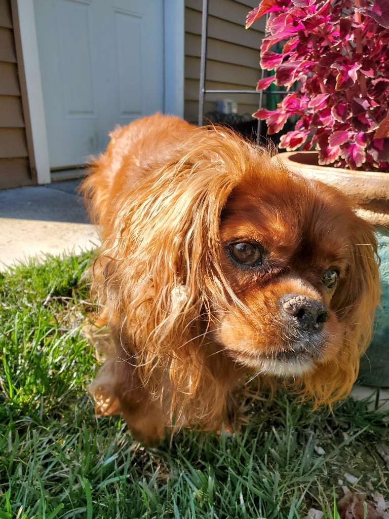 king charles spaniel beauty