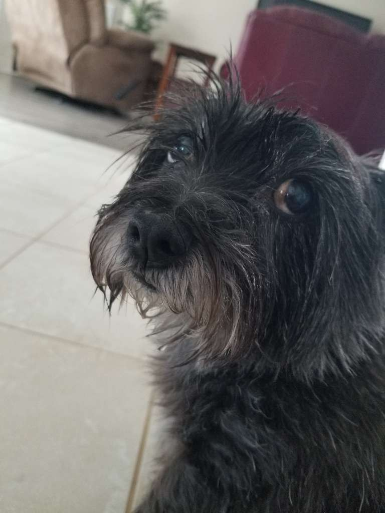 black cairn terrior dog eye roll
