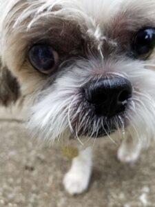 dog closeup shihtzu