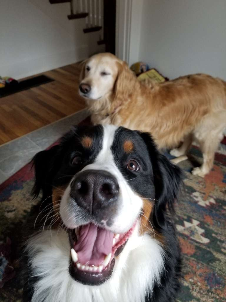 dogs two golden bernese