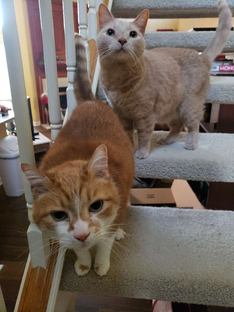 cats two stairs orange white