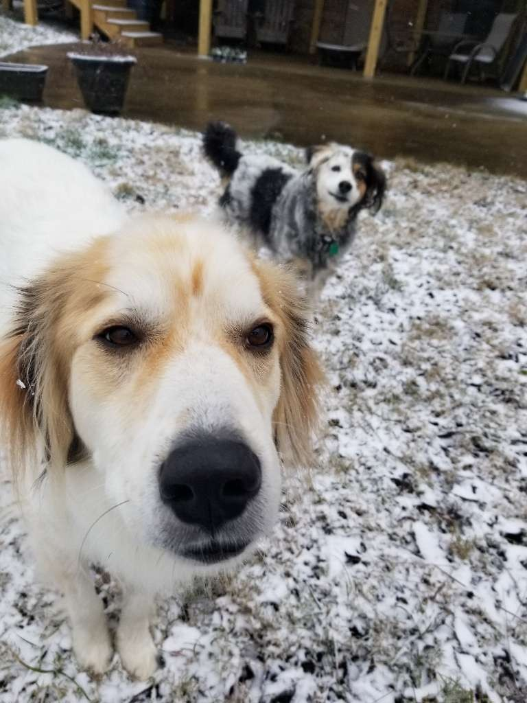 dogs two snow white brown spots